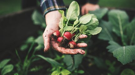 An outstretched hand holding some freshly picked radishes